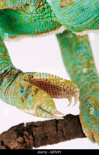 Veiled Yemen Chameleon close up of foot Yemen and Saudi Arabia - Stock Image
