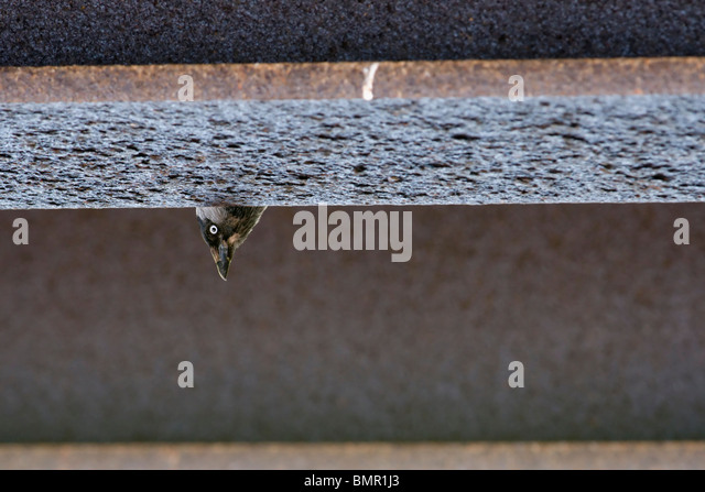 Jackdaw peeping out from nest site under a bridge.Exmoor Somerset - Stock Image