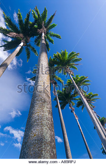 Allée Dumanoir, an avenue of enormous Royal Palms, on Basse Terre, Guadeloupe, French Antilles, Caribbean - Stock Image