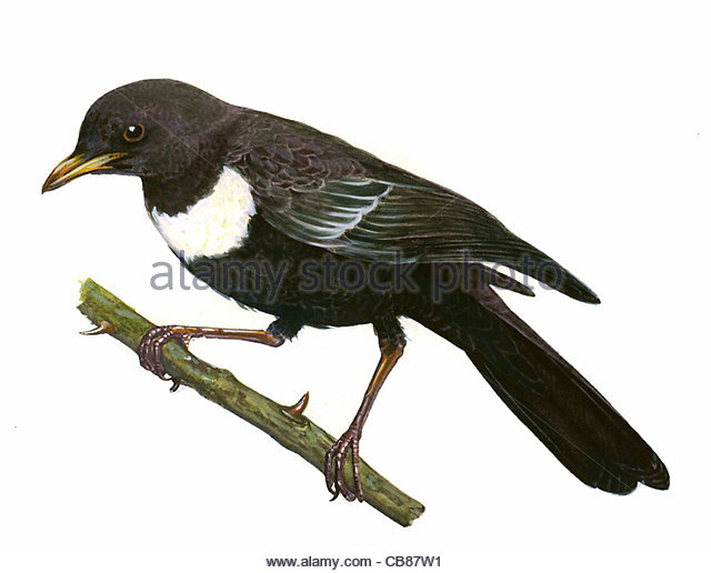 Ring Ouzel bird species Series Songbird - Stock-Bilder