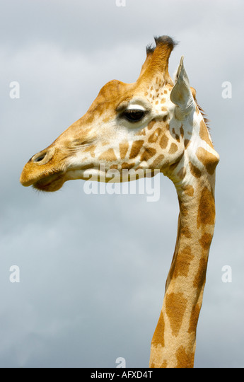 Giraffe at Cerza Parc Zoologique Lisieux Normandy France - Stock Image