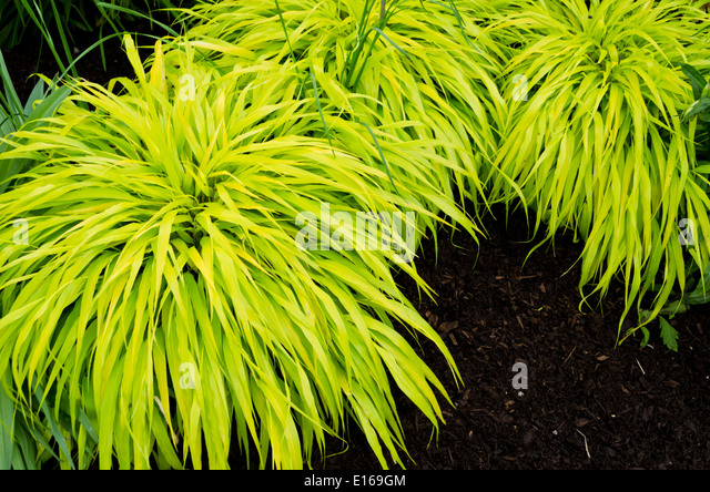 Hakonechloa stock photos hakonechloa stock images alamy for Japanese ornamental grass varieties