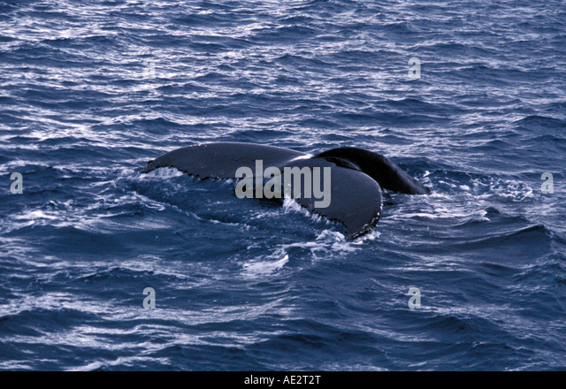 Humpback whale tail fluke sounding Samana Peninsula Dominican Republic - Stock Image