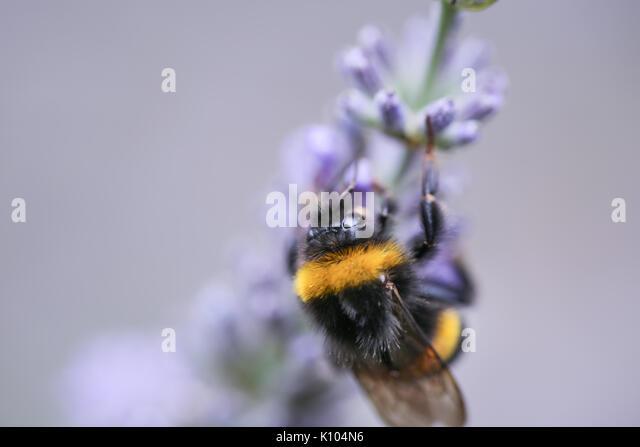 Violet lavender bush in blossom - Stock Image