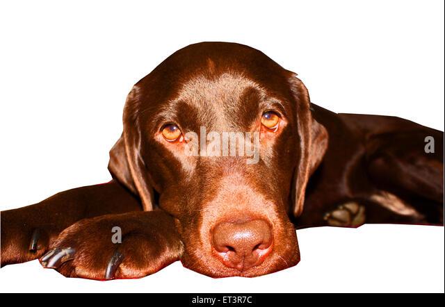 studio photography, adorable, chocolate Labrador, rescue dog, shiny coat, happy dog, dog health, cute animal, lovable, - Stock Image