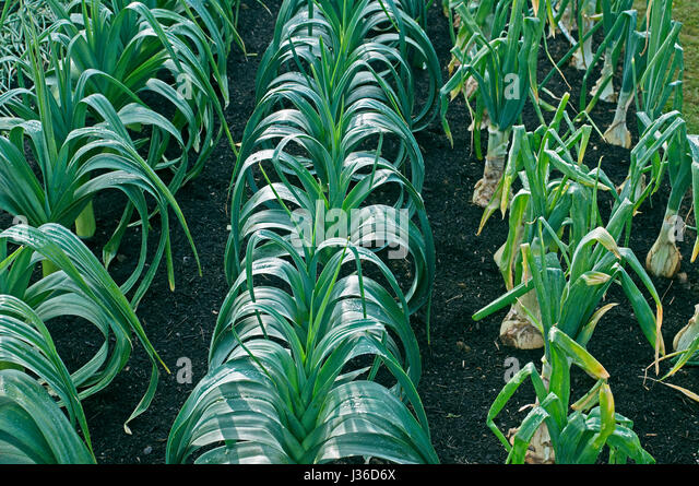 Rows of leeks left Pot Leek 'Yorkshire Green' centre Blanch Leek 'Steve's selected' and left - Stock Image