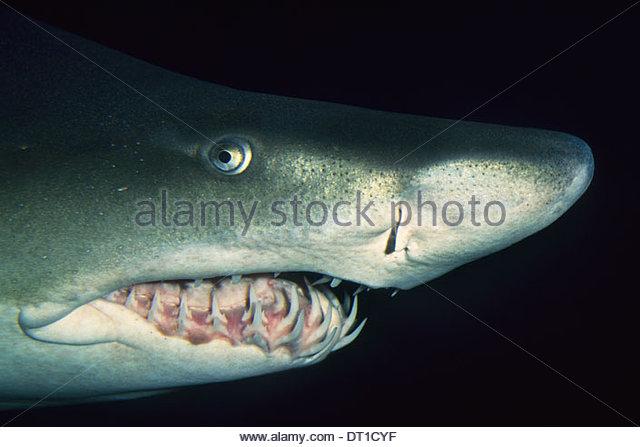 Vancouver Aquarium British Columbia Canada Sand tiger shark Carcharias taurus Vancouver - Stock-Bilder