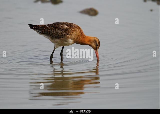 Black-tailed Godwit (Limosa limosa) - Stock Image