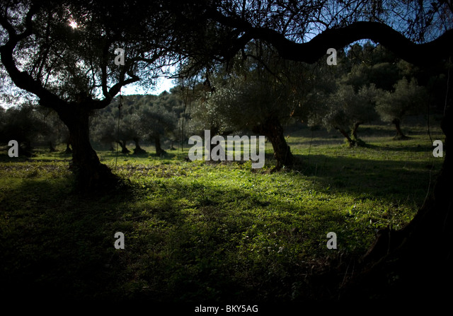 Olive trees in a rural path in El Bosque, Cadiz Province, Spain, March 12, 2008.Photo/Chico Sanchez - Stock Image
