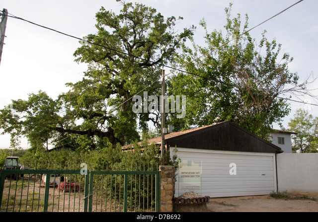 the place (Tree) where one of the choppers crashed in the collision at shear yashuv, galilee - Stock Image