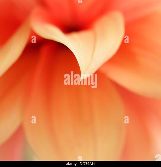 Dahlia close up - Stock Image