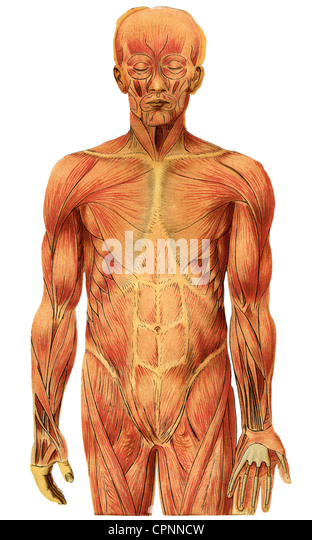 medicine, anatomy, muscles of a man, illustrated chart, Germany, circa 1905, muscle layers, muscle layer, muscle - Stock Image