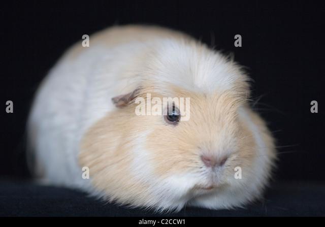 GUINEA PIG - Stock Image