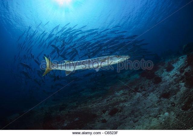 Barracuda - Stock Image