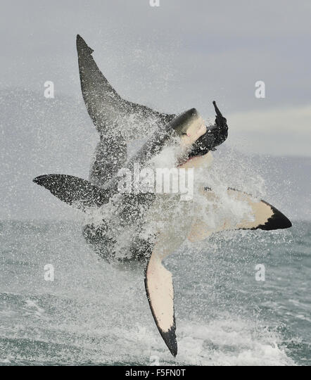 Great White Shark (Carcharodon carcharias) breaching in an attack. Hunting of a Great White Shark (Carcharodon carcharias). - Stock Image