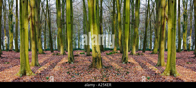 symmetrical trees - Stock Image