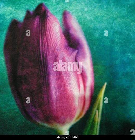 Purple Tulip - Stock Image