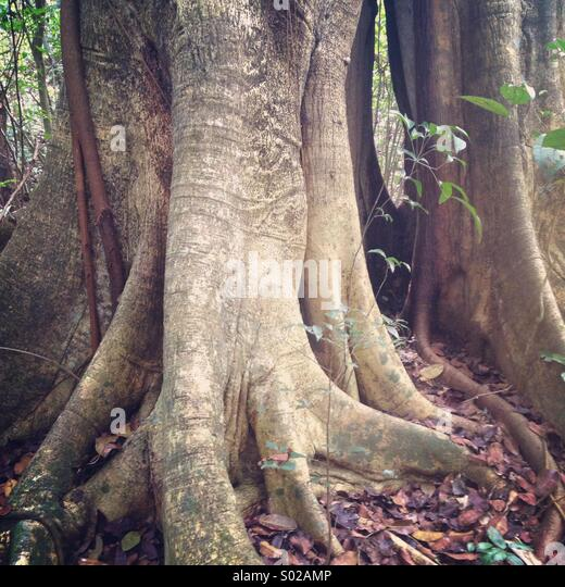 Buttressed rainforest tree, Yucatan Peninsula, Mexico - Stock-Bilder