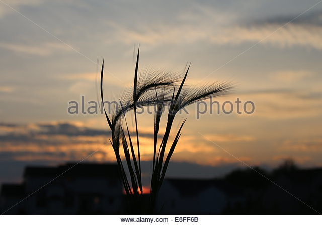 Ear of wheat at sunset - Stock Image