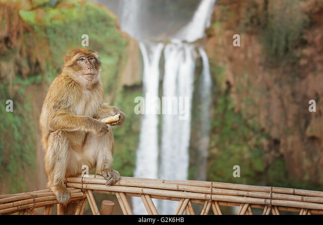 Berber monkey against the waterfalls of Ouzoud in the background. - Stock Image