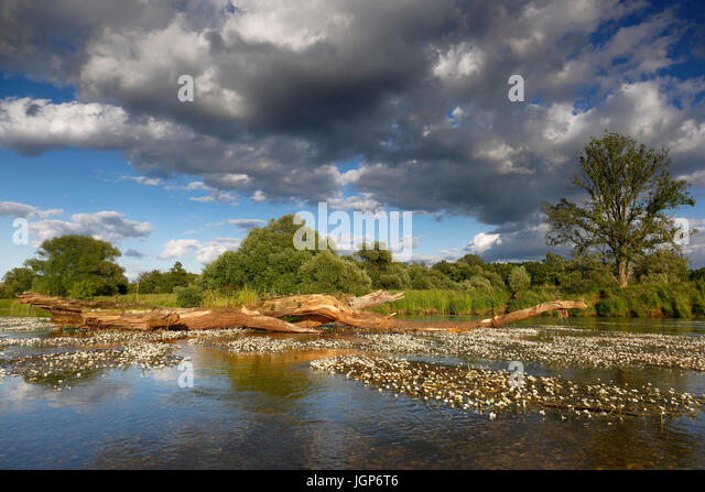 River water-crowfoot (Ranunculus fluitans), river basin near Dessau, biosphere reserve Middle Elbe, Saxony-Anhalt, - Stock Image