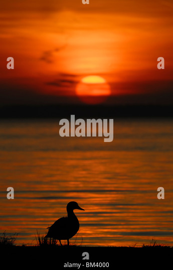 Mallard (Anas platyrhynchos). Male on edge of the water silhouetted against the setting sun. - Stock Image