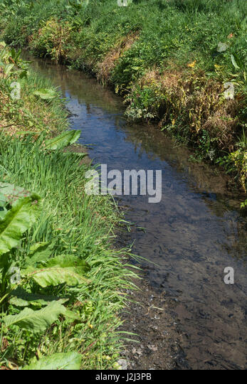 Noxious weed control - yellowed leaves of poisoned Hemlock Water-Dropwort (Oenanthe crocata) beside drainage ditch, - Stock Image