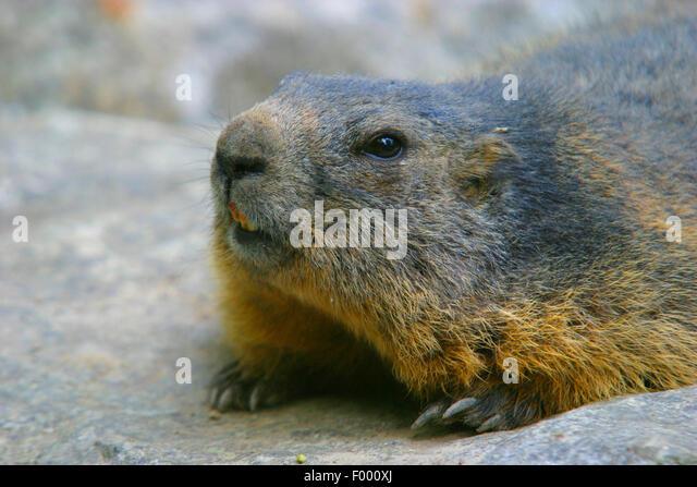 alpine marmot (Marmota marmota), on a stone, portrait, Austria - Stock Image