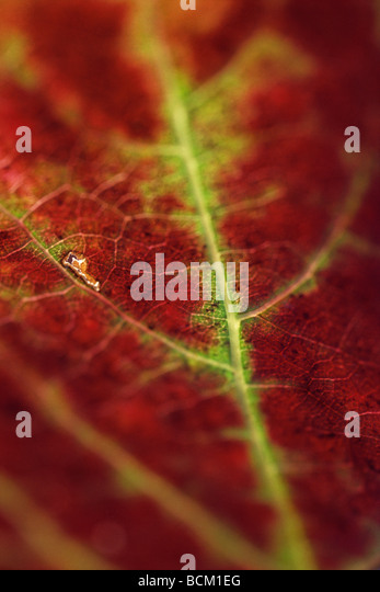 Red and green leaf, extreme close-up of veins - Stock Image