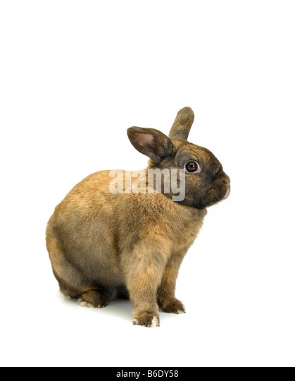 Domestic Rabbit - Stock Image