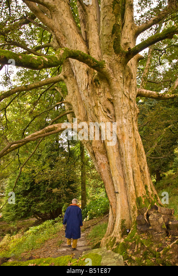 William Wordsworth Rydal Mount and Gardens man walks on forest path - Stock Image