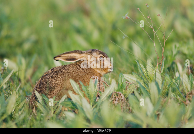 Brown Hare Lepus europaeus National Park Lake Neusiedl Burgenland Austria April 2007 - Stock Image