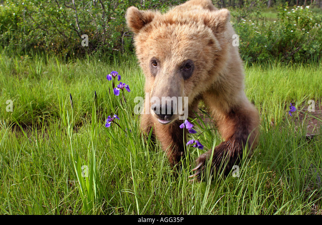 Young grizzly walking in meadow of wildflowers Southcentral Alaska Summer - Stock-Bilder