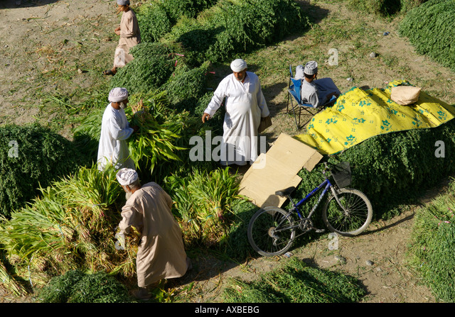 Fodder for sale in the outdoor souk in Nizwa in the Sultanate of Oman. - Stock-Bilder