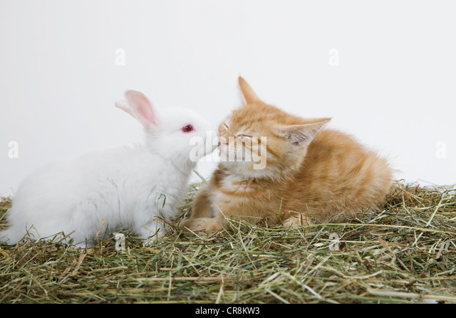 Ginger kitten and rabbit - Stock Image