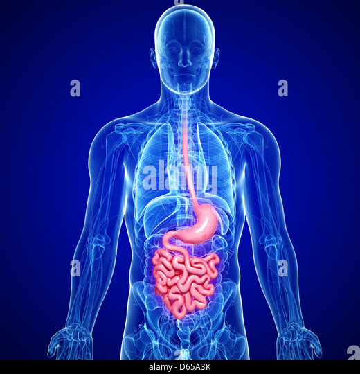 Male digestive system, artwork - Stock Image