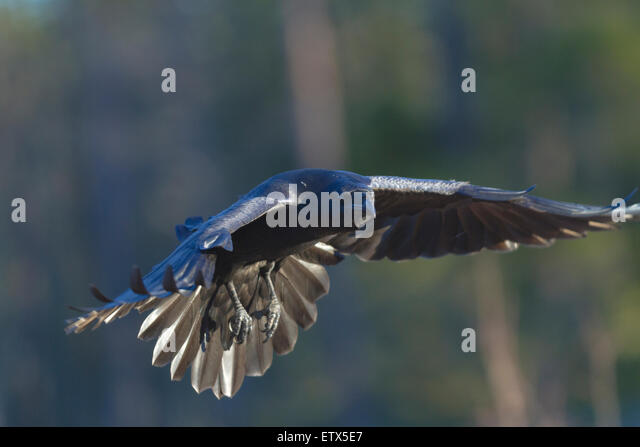 Close up photo of flying raven looking in to the camera - Stock Image
