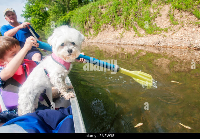 Maltese dog in canoe - Stock Image