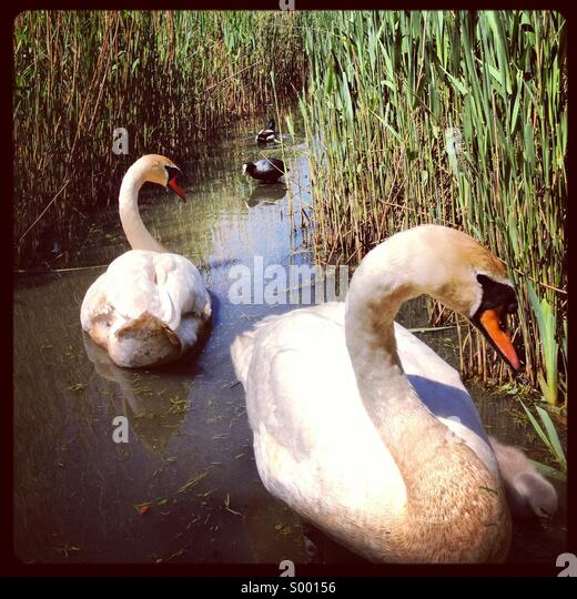 Swans and a coot, Abbotsbury Swannery - Stock Image
