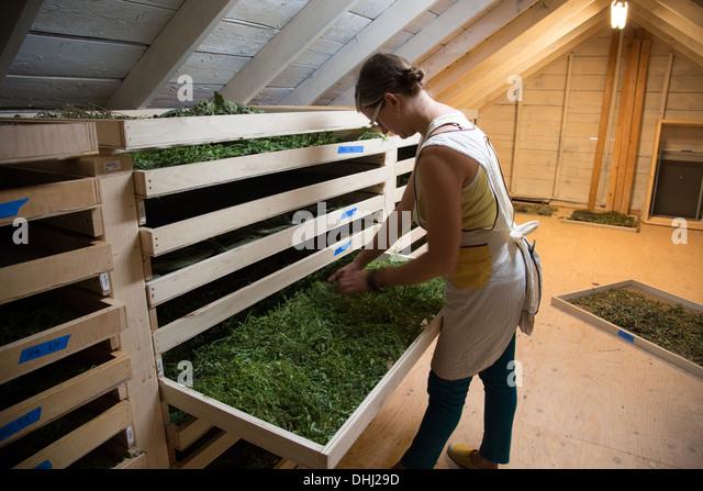 Woman checking tray of seedlings on family herb farm - Stock-Bilder