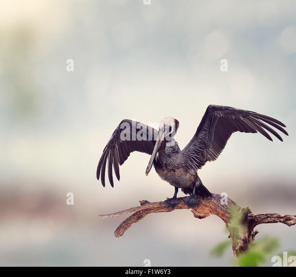 Brown Pelican Perches on a Wooden Log - Stock Image