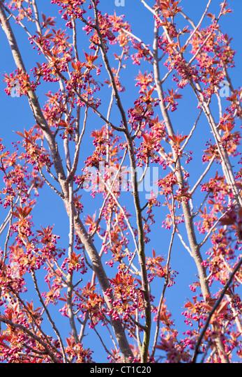 Cherry blossom uk stock photos cherry blossom uk stock images alamy - Romanian cherry tree varieties ...