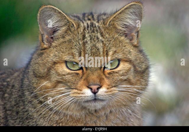 Europaeische Wildkatze,Portraet|European Wildcat portrait, closeup - Stock-Bilder