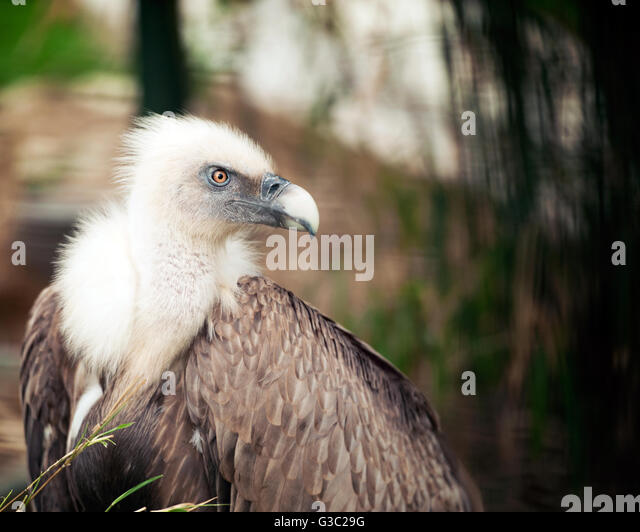 Close up of Griffon Vulture - Stock Image