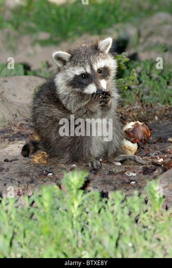 Raccoon (Procyon lotor), baby animal feeding on ground, Germany - Stock Image