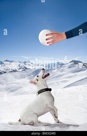 Dog in snow looks up to snowball - Stock Image