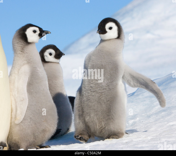 Emperor Penguin chicks on ice, Snow Hill Island, Antarctica - Stock Image