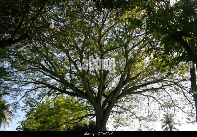 Large corotu tree - Stock Image