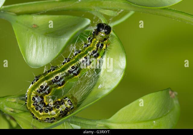 pest caterpillar stock photos pest caterpillar stock images alamy. Black Bedroom Furniture Sets. Home Design Ideas