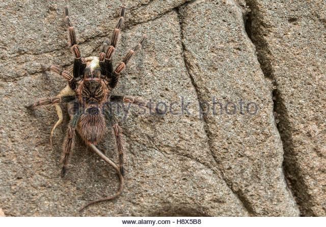 Tarantula spide...